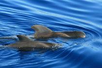 Grindwalmutter mit Kind vor Teneriffa von Gesellschaft zur Rettung der Delphine e.V.